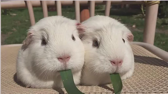 Two cute guinea pigs eating a grass together are really cute